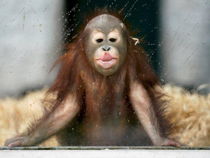FOTO: Melihat Ole, Orangutan Muda yang Lucu