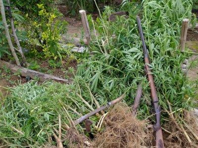 Kebun Kopi Berisi Ladang Ganja di Bengkulu Digerebek Polisi