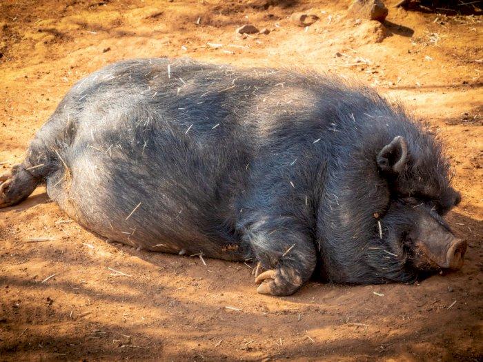 Babi Hutan Mengamuk Lukai Bocah di Bengkulu, Berujung Ditembak Polisi