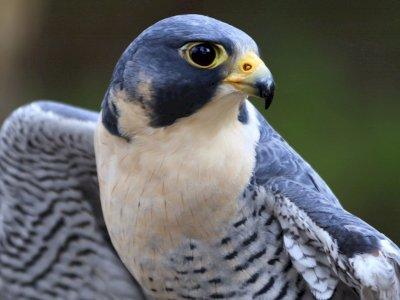 Peregrine Falcon, Burung Pemburu dengan Kecepatan Super