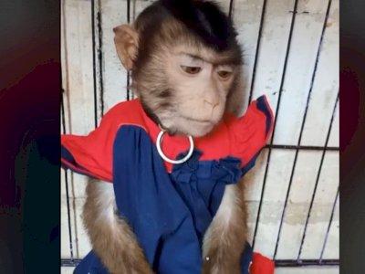 Pakai Pampers dan Baju Bayi, Tingkah Monyet Kecil Ini Lucu Banget Bikin Gemas