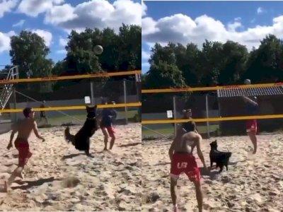 Gemesnya Saat Anjing ini Diajak Main Voli Pantai, Netizen: Pinter Banget