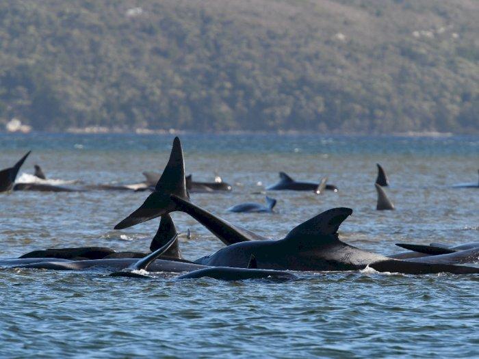 FOTO: Upaya Penyelamatan Paus di Macquarie Harbour, Tasmania