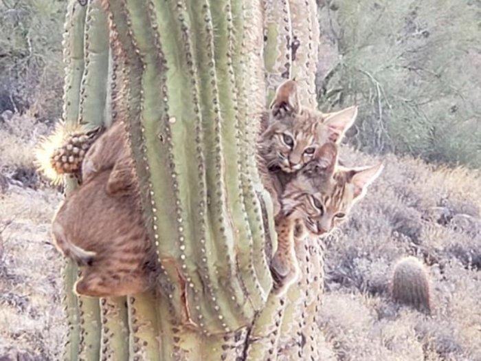 Unik bin Langka! Penampakan 2 Ekor Kucing Bersarang di Pohon Kaktus