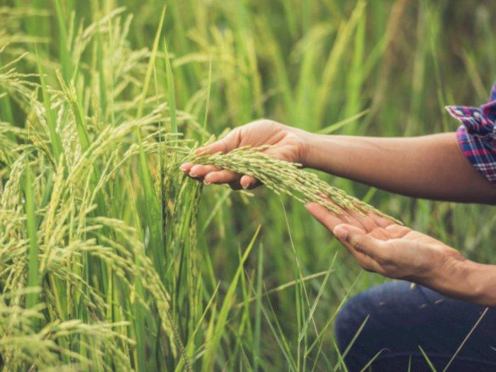 Kementan Siap Dukung Produksi Petani, Ini yang Dilakukan