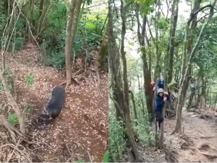 Momen Mendaki Gunung, Sekelompok Pemuda ini Malah Dikejar Babi Liar, Berujung Manjat Pohon