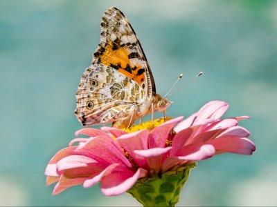 Bukan di Mulut, di Manakah Letak Indera Perasa Kupu-kupu?