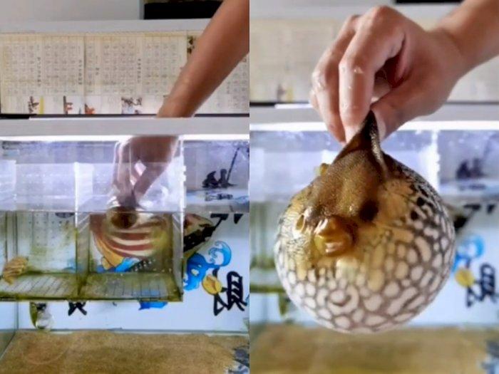 Detik-detik Ikan Buntal yang Menggembungkan Diri Saat Dipegang, Netizen: Mirip Mrs.Puff