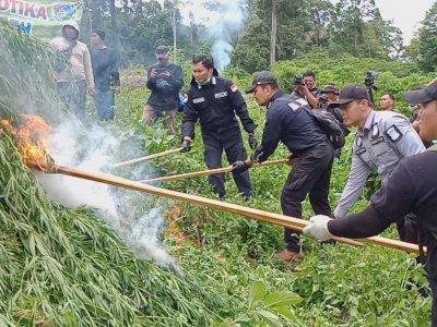 10 Hektar Ladang Ganja Ditemukan Polri di Aceh, Langsung Dimusnahkan
