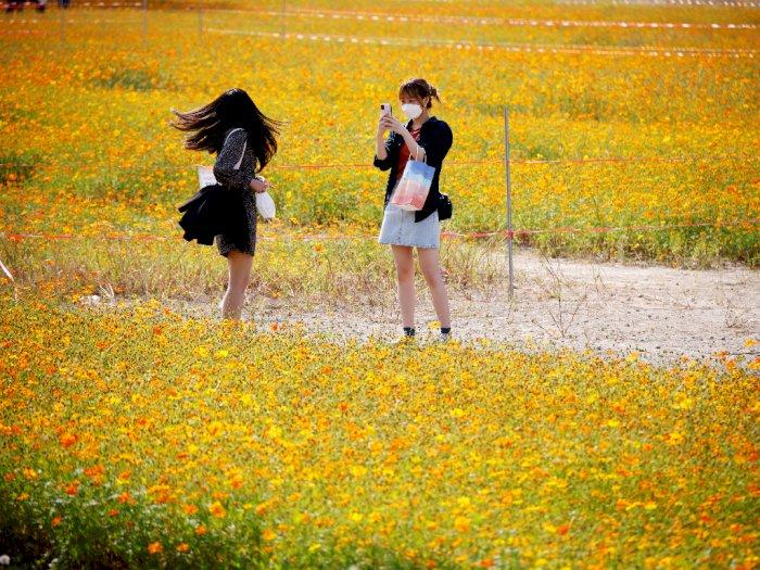 FOTO: Melihat Keindahan Taman Bunga Cosmos di Korea Selatan