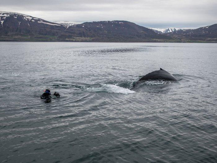 Islandia Tawarkan Petualangan Baru, Pelancong Bisa Berenang dengan Paus Bungkuk!