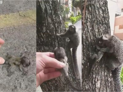 Pria Ini Selamatkan Bayi Monyet yang Hampir Dilindas Kendaraan, Kembalikan ke Induknya
