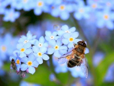 Mengapa Bunga Memiliki Wangi dan Ada Pula yang Tidak Memilikinya?