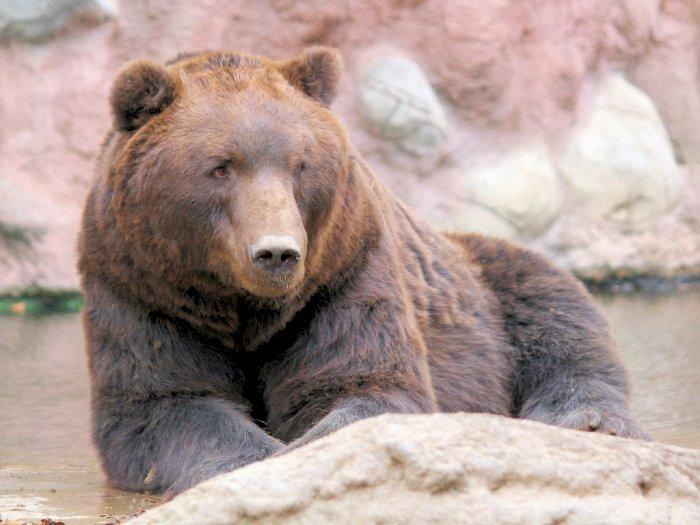 Fat Bear Week, Ajang Pemilihan Beruang Paling Gemuk di Amerika