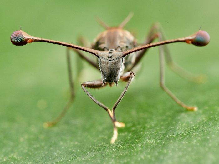 Lalat Bermata Batang, Penampilan Serangga yang Mirip Alien di Alam Liar