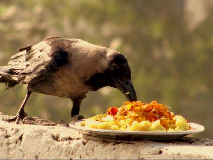 Tradisi Memberi Makan Gagak, Wakili Kerabat yang Telah Meninggal