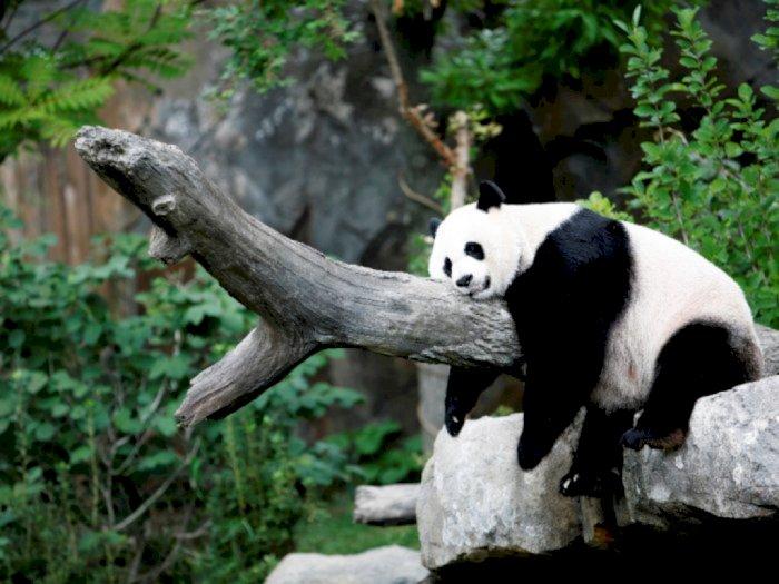 Kebun Binatang Washington DC Ungkap Jenis Kelamin Anak Panda Mei Xiang, Tebak Apa?