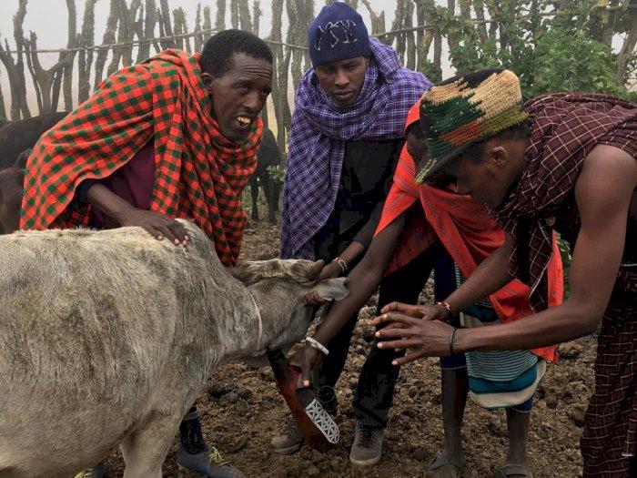 Tradisi Menikmati Darah Sapi Segar Bagi Orang-orang Maasai