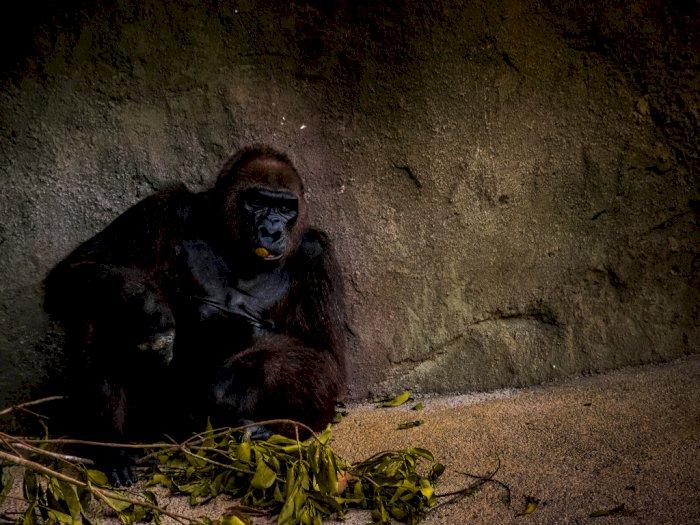 Kembali Terima Turis, Uganda Terapkan Jaga Jarak dengan Gorila