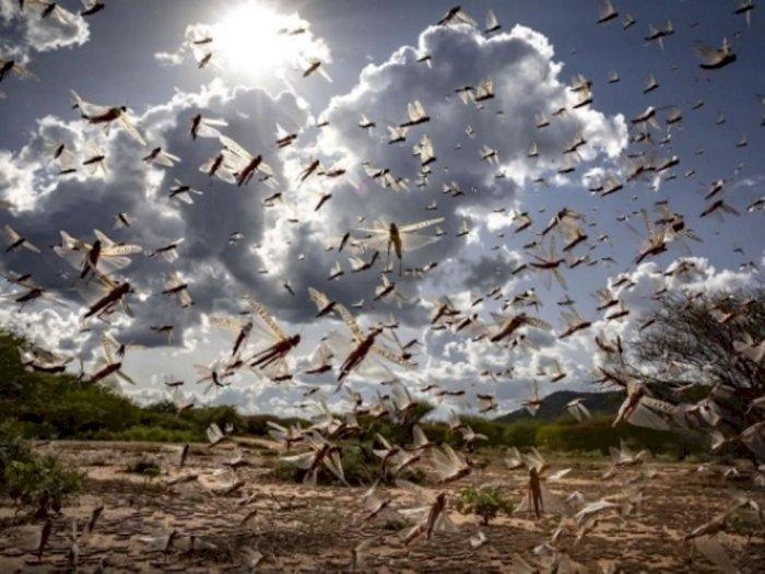 Fenomena Serangan Belalang yang Sebabkan Malapetaka Bagi Negara Miskin