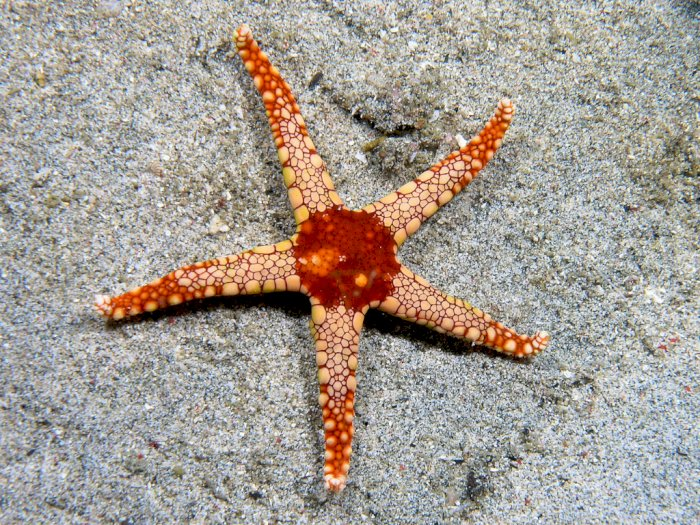 Fakta Unik Lengan Bintang Laut yang Bisa Tumbuh Kembali Jika Luka atau Hilang