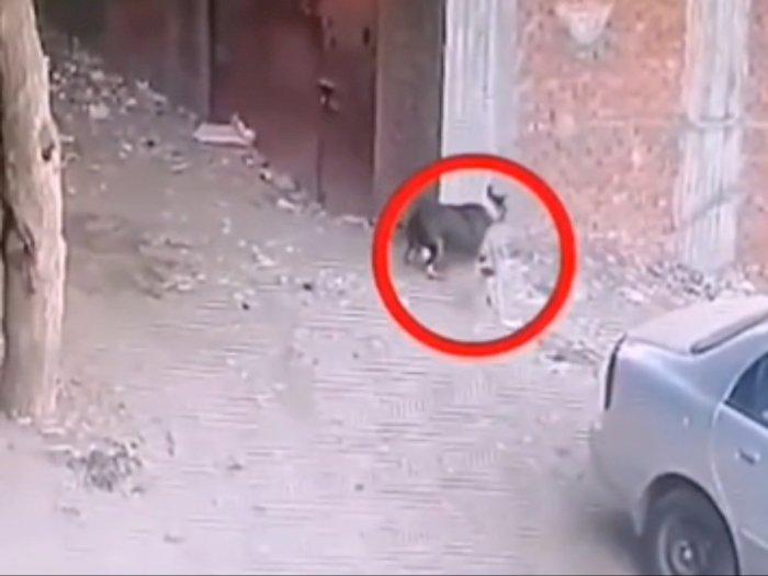 Video Mendebarkan Seekor Anjing Serang Bocah, Beruntung Diselamatkan Kucing!