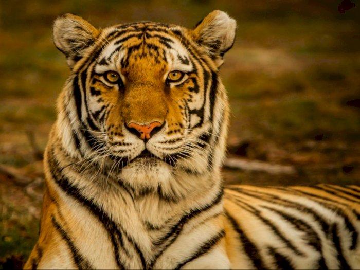 Walhi Sumut Sebut Harimau Sumatera Sudah Memangsa Manusia, Kerusakan Hutan jadi Penyebab