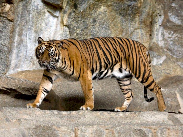 Duh! Seekor Harimau Sumatera Terjerat di Hutan dekat Perkebunan Warga, Begini Kondisinya