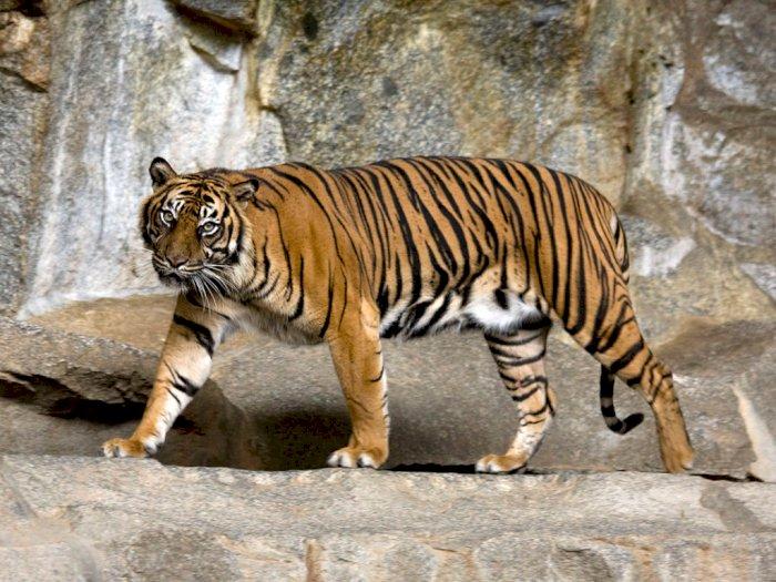 Perambahan Hutan Secara Masif Bikin Harimau Sumatera Sering Keluar dari Habitatnya