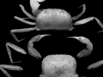 Ternyata Ada Dua Spesies Kepiting Baru yang Ditemukan di Papua