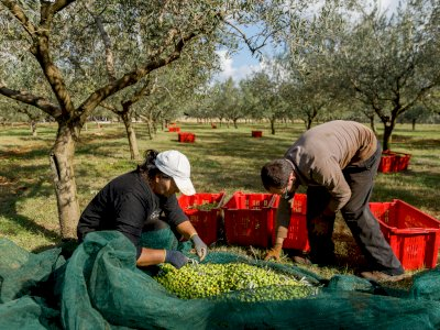 Semenanjung Istrian di Kroasia, Penghasil Minyak Zaitun Terbaik di Dunia