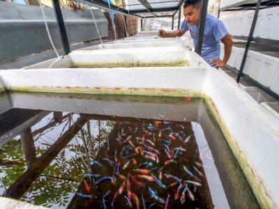 FOTO: Budidaya Ikan Cupang Hias Ekspor