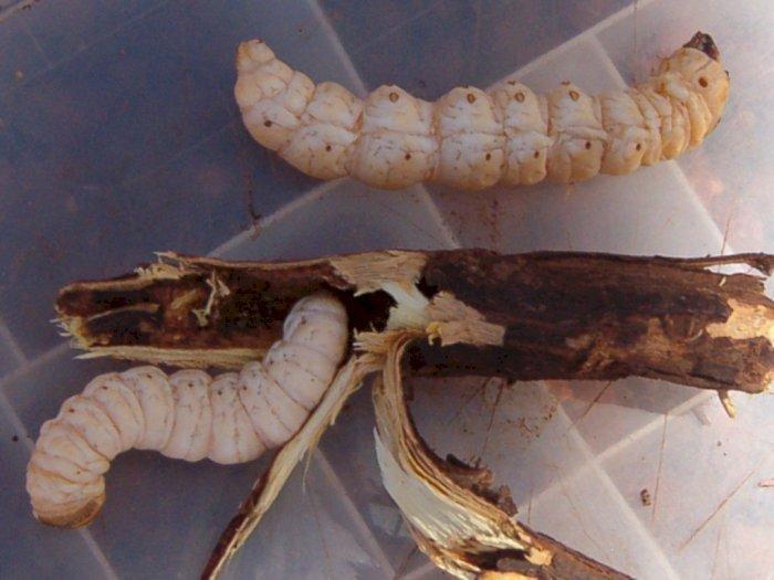 Larva Ngengat Putih, Makanan Pokok Kaya Protein Suku Aborigin