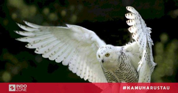 Fakta Unik Burung Hantu Dapat Terbang Nyaris Tanpa Suara Indozone Id
