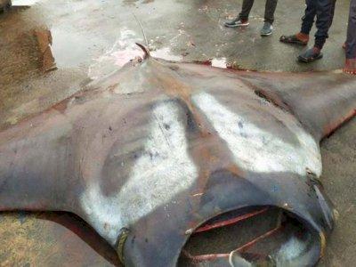 Wow! Nelayan Ini Berhasil Jaring Ikan Pari Seberat 750 Kg, Harus Diangkat Pakai Crane