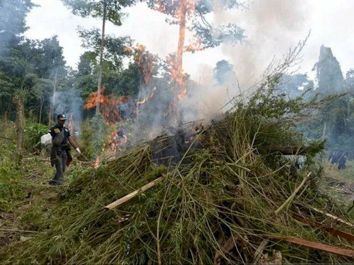 3,5 Hektare Ladang Ganja di Lamteuba Aceh Besar Dimusnahkan BNN