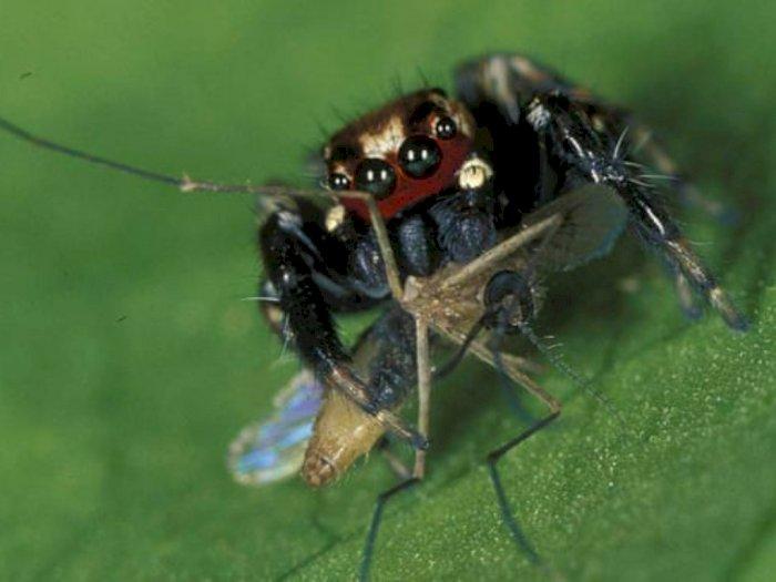 Laba-laba Penyuka Darah Manusia yang Memangsa Nyamuk