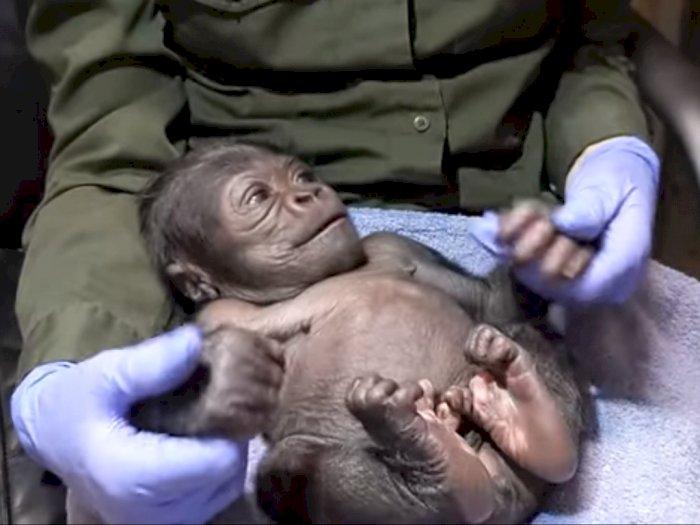 Bayi Gorila Jantan Pertama Lahir Melalui Operasi Caesar di Kebun Binatang Boston