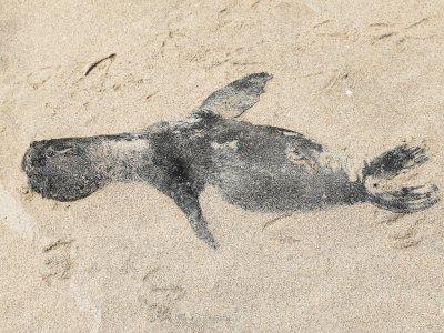 FOTO: Lebih dari 7.000 Anjing Laut Mati di Sepanjang Pantai Namibia