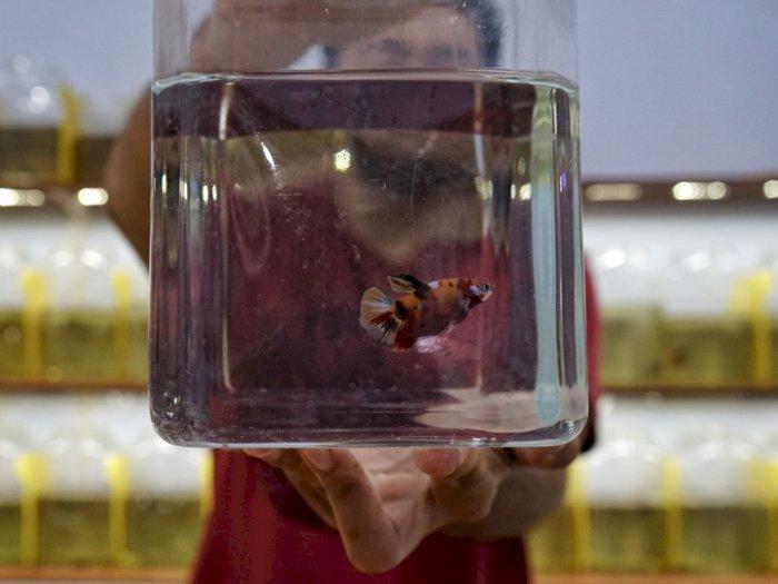 FOTO: Budi Daya Ikan Betta di Yogyakarta