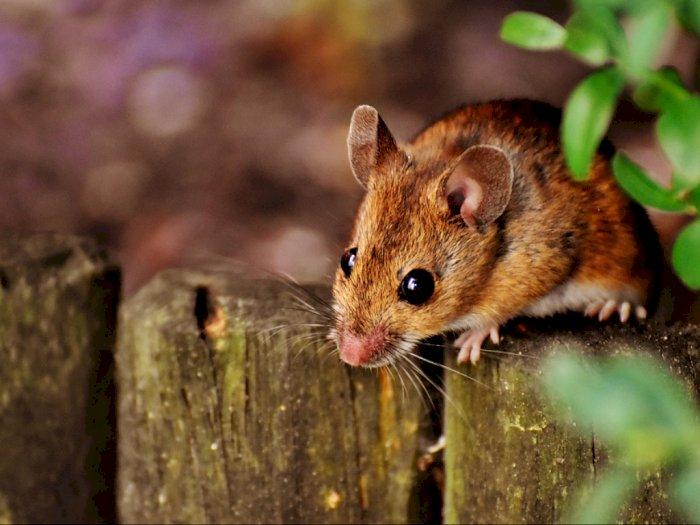 Ini Dia Satu-satunya Wilayah Bebas Tikus di Dunia Selain Antartika