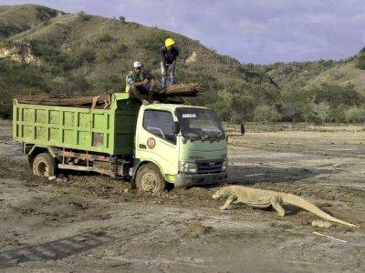Ketika Komodo Berhadapan dengan Truk Proyek, Sebuah Pemandangan Langka