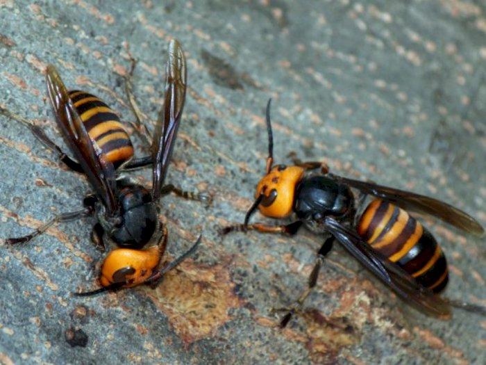 Lebah Raksasa Asia, Predator Rakus Pembantai Lebah Madu