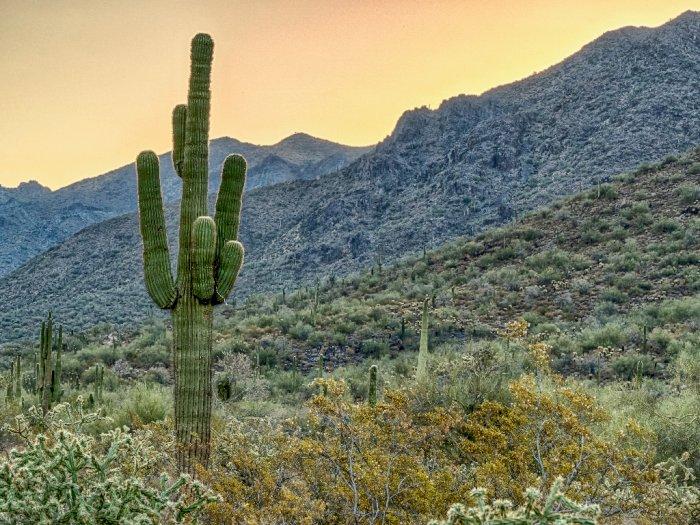 Kaktus Saguaro, Tumbuhan Penting di Tengah Gurun Sonoran