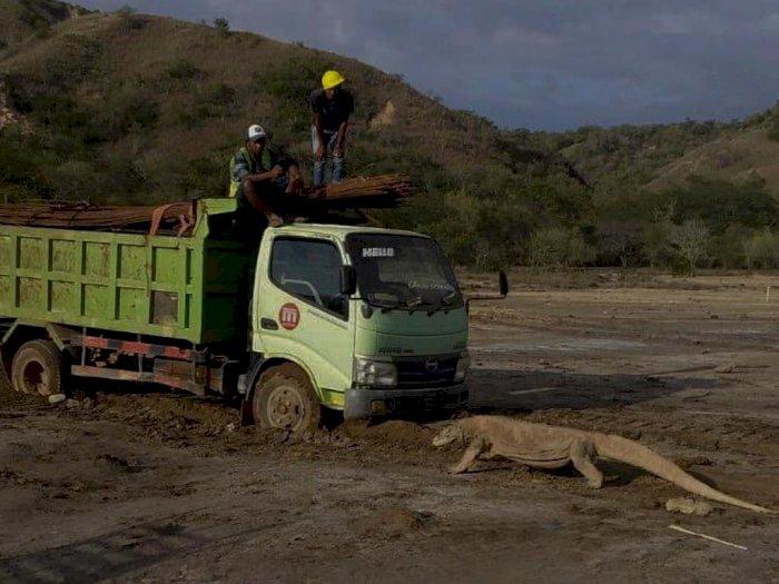 Usai Foto Komodo vs Truk Proyek Viral, Pulau Rinca Ditutup & Orang-orang Dilarang Memotret