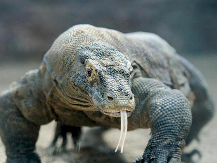 Fakta Menarik Komodo, Bisa Mencium Bau Darah dari Jarak Jauh & Makan hanya Sebulan Sekali