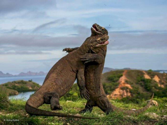Tak Hanya Komodo, 5 Biawak Ini Juga Dilindungi