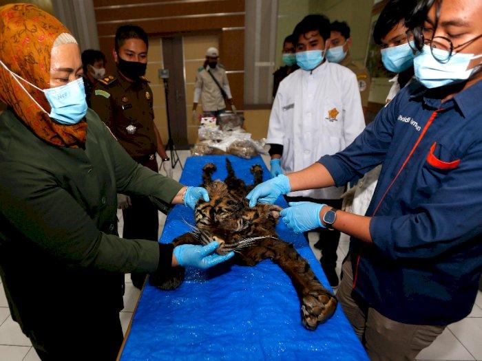 FOTO: Kulit Harimau Rampasan Negara