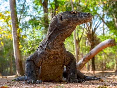 Pembangunan Jurassic Park, Begini Sistem Melihat Komodo di Masa Depan