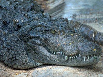 Ini Alasan Mengapa Buaya Bertahan dari Kepunahan Sejak Zaman Dinosaurus